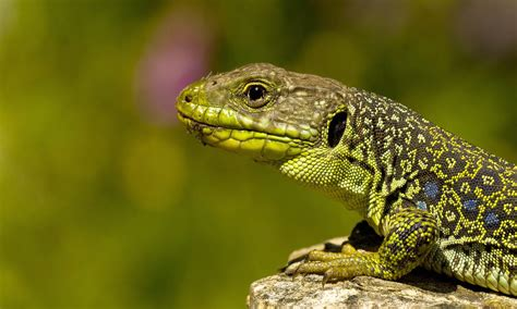 Lizard Full Hd Wallpaper And Background Image 2951x1771
