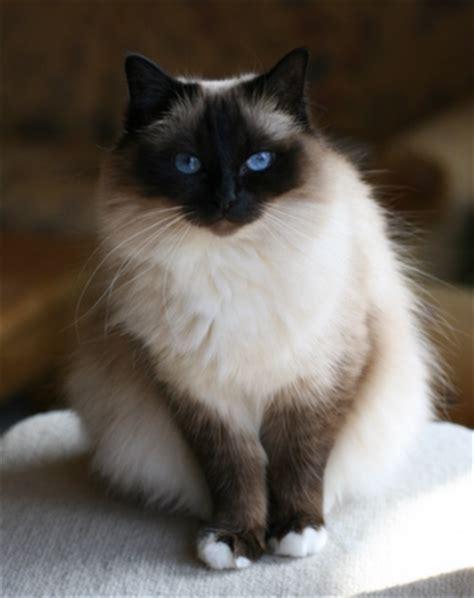 Birman Cat Info, History, Personality, Kittens, Diet, Picture