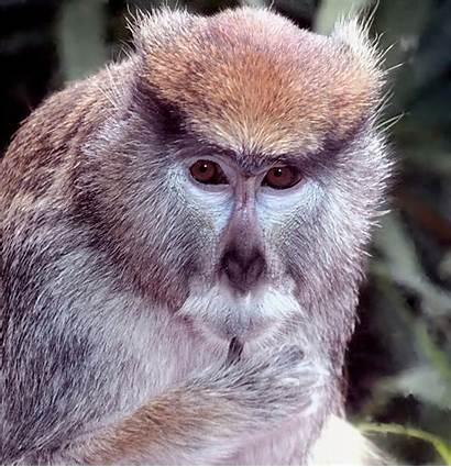 Monkey Patas Wikipedia Monkeys Animal Different Types