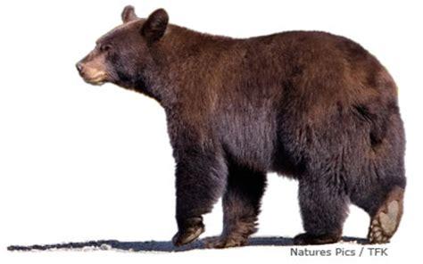 Russia Brown Bear Animals