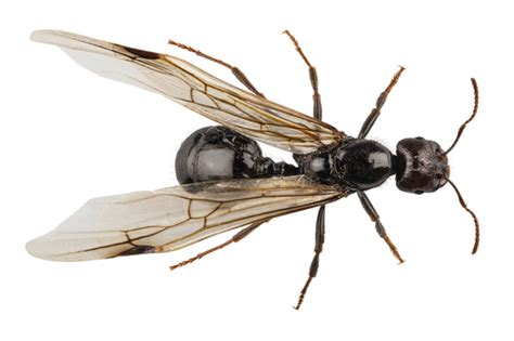 do ants wings arrow exterminators termites and ants how to tell the difference
