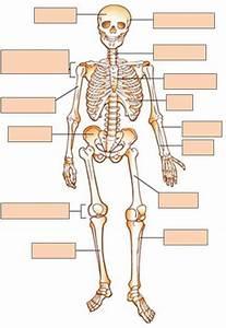 Human Anatomy Skeleton Quiz - Baldaivirtuves.info