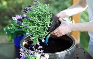 Lavendel Pflanzen Im Topf : richtige lavendel pflege ~ Frokenaadalensverden.com Haus und Dekorationen