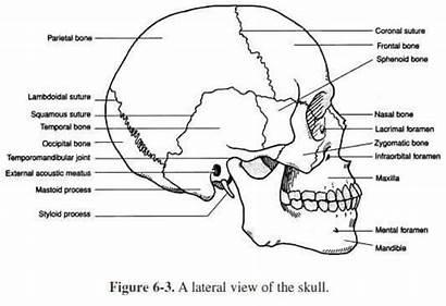 Skull Anatomy Bones Human Worksheets Physiology Skeletal