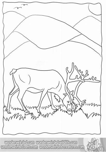 Coloring Pages Wildlife Realistic Animal Reindeer Caribou