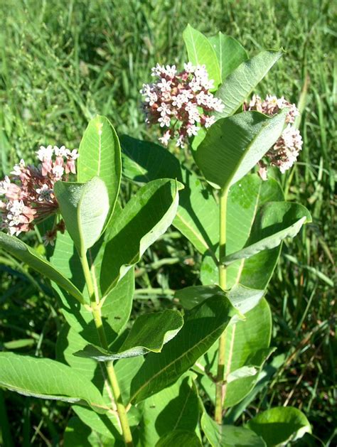 What Does Milkweed Plant Look Like