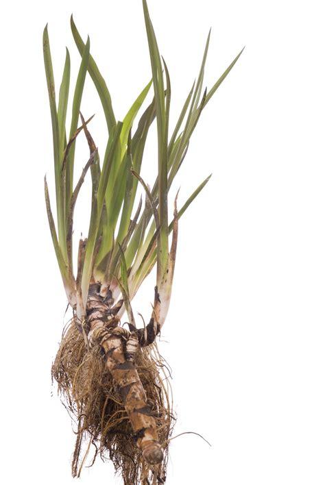 harvesting sweet flag plants tips