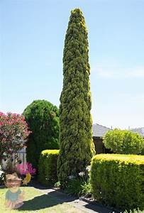 Cupressus  U0026 39 Swanes Gold U0026 39  Conifer 8 U0026quot  Pot