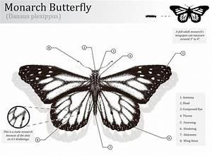 34 Monarch Butterfly Anatomy Diagram