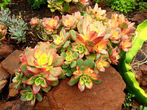 Aeonium Kiwi   Succulent Shop Nursery South Africa buy ...