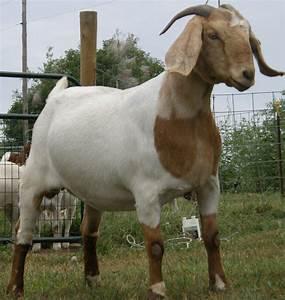 Goat Farming Business Plan  U2013 Dayo Adetiloye Shop
