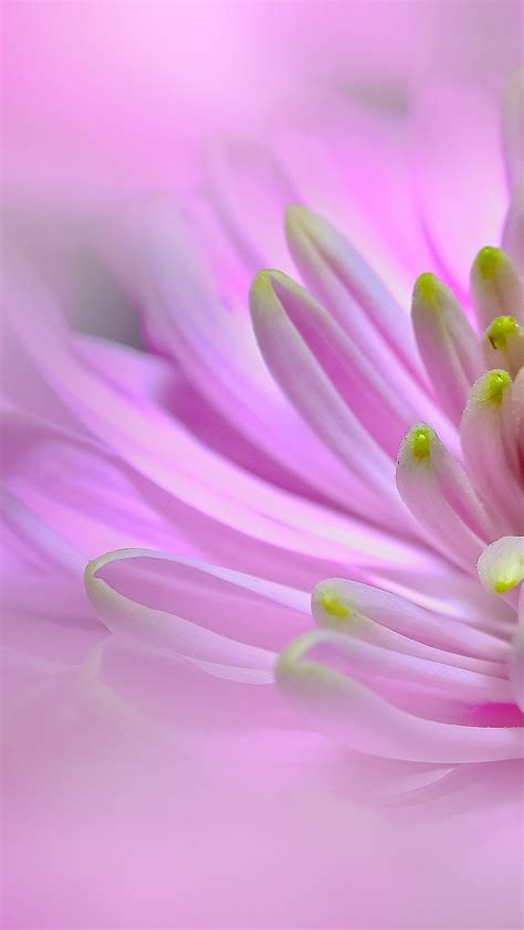 Ultra Hd Pink Dahlia Flower Wallpaper For Your Mobile