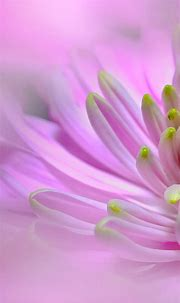 Ultra HD Pink Dahlia Flower Wallpaper For Your Mobile ...