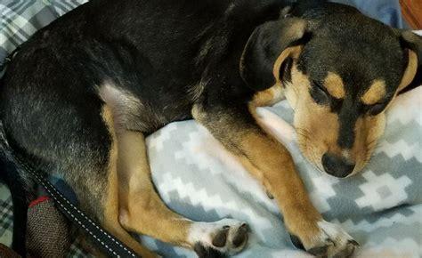 gallatin tn katie female beagle mix puppy  adoption
