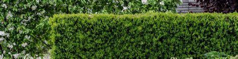 Sichtschutz Garten Dehner by Heckenpflanzen Pflegeleichter Sichtschutz Dehner