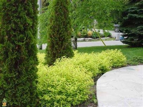 Spiraea japonica 'Goldmound' Japānas spireja - Spirejas ...