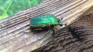 Green Scarab Beetle In The Garden