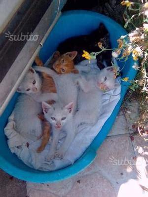 gatti persiani da adottare cuccioli gattini gatti adottare imperia posot class