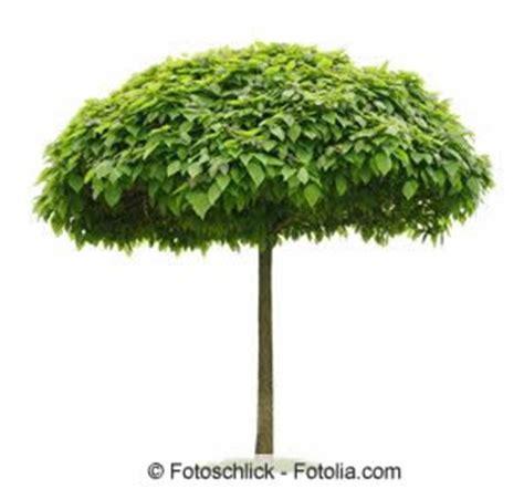 catalpa baum schneiden trompetenbaum schneiden tipps f 252 r catalpa bignonioides nana hausgarten net