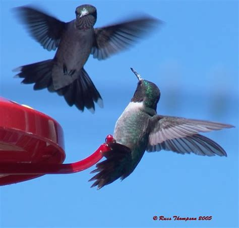 top 28 why do hummingbirds fight journey north
