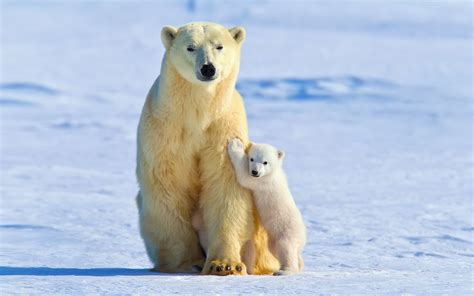 Animals In Snow Wallpaper - polar bears animals snow baby animals wallpapers