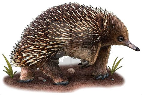 echidna clipart beaked echidna tachyglossus aculeatus line and