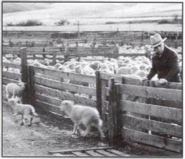 Commentary Essay Raising Sheep In Eastern Washington A Reminiscence By