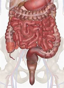 Human Intestines | Interactive Anatomy Guide