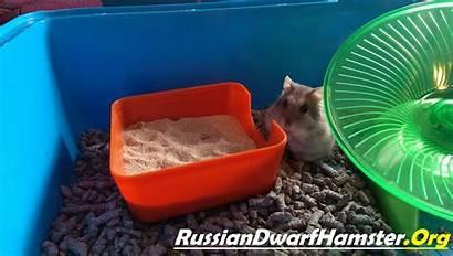 Sand Bath Dwarf Hamster Hamsters Soon Come