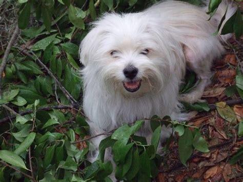 maltipom maltese  pomeranian info temperament puppies