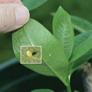 What Do Monarch Butterfly Eggs On Milkweed Look Like