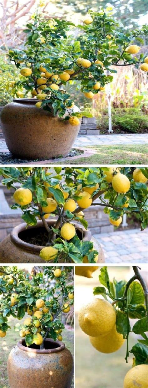 lemon trees and container gardening on