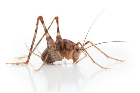 size bed wood pest of the month camel crickets pest