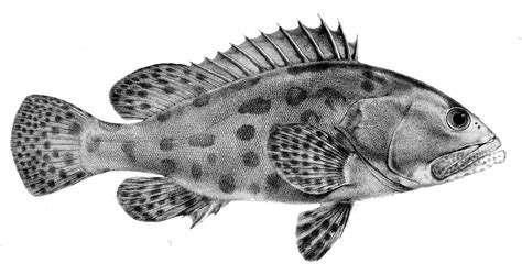 epinephelus tukula grouper potato 1866 wikipedia file commons wikimedia