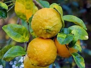 Zitruspflanzen Gelbe Blätter : pflegefehler bei zitruspflanzen gardening pinterest garten zitronenbaum und ~ Orissabook.com Haus und Dekorationen