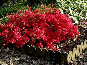 Plantes à Feuillage Persistant : azal es azalea le temps des fleurs ~ Premium-room.com Idées de Décoration