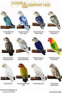 World Famous Types Of Colorful Love Birds Mutation of The ...