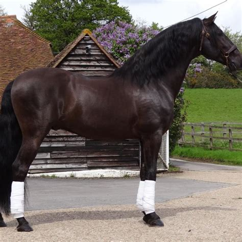 andalusian stud horse broomfield spanish breeders pre