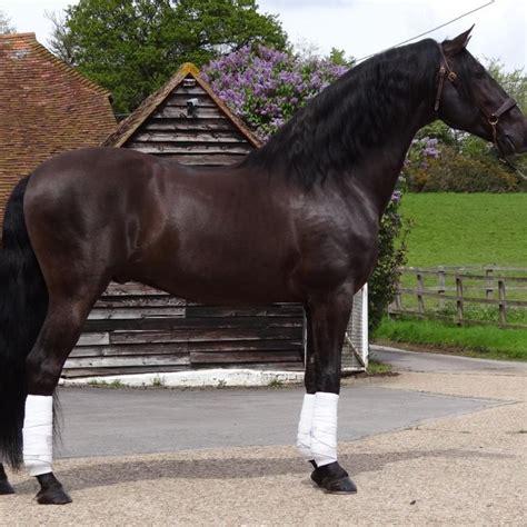 andalusian stud horse broomfield spanish breeders pre
