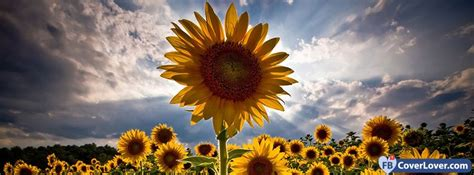 sunflower nature  landscape facebook covers photo