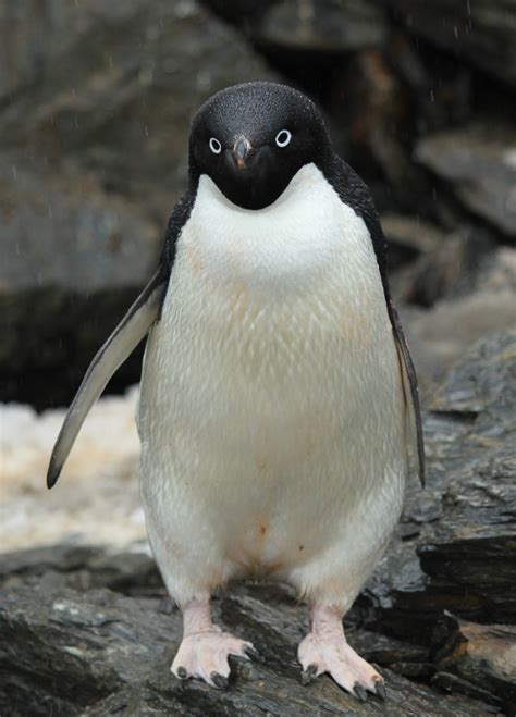 Penguin Desk Copies Canada by File Ad 233 Lie Penguin 5914568080 Jpg Wikimedia Commons