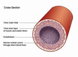 8 Facts About Arteries