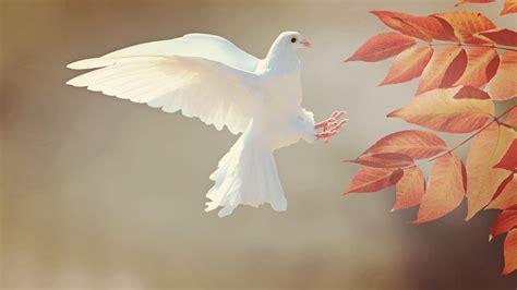 wallpaper dove bird  animals