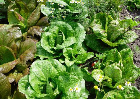 sommerendivie romanasalat bindesalate salatsorten