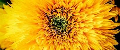 Yellow Chrysanthemum Petals Bud 1080p Wide Dual
