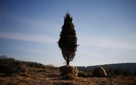 why you ll be paying more for a christmas tree this year