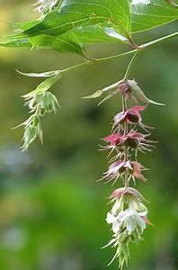 Zwergflieder Auf Stamm : clematis aromatica scented clematis is a non clinging ~ Lizthompson.info Haus und Dekorationen