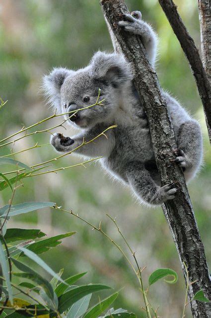 koala cute animals australia fuzzy