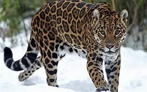 Black Jaguar Wallpaper Desktop - johnywheels.com
