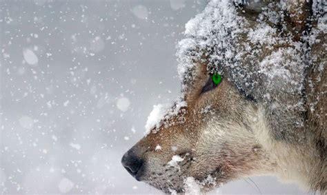Latvijā savairojušies vilki un pieaudzis uzbrukumu skaits ...